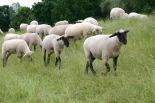 sheep-838489_1920